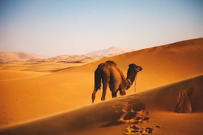 Maroko wielbłąd